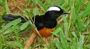 Mengetahui Ciri Ciri Fisik Burung Murai Batu Filipina Paling Akurat