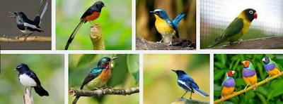 Prediksi Burung Kicau Yang Bakalan Trend Di Tahun 2019 Terlengkap