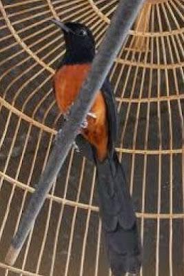 Mengenal Lebih Dekat Burung Murai Batu Ekor Hitam Dari Aceh Paling Lengkap