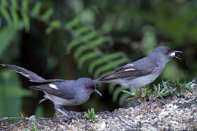 Mengenal Dekat Jenis Burung Murai Air Dan Ciri Ciri Fisiknya Paling Akurat