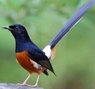 Mengetahui Lebih Dekat Burung Murai Batu Lampung  Dan Ciri Cirinya Terlengkap