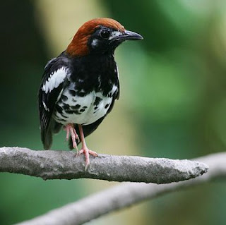Kisaran Harga Terbaru Burung Anis Kembang Saat Ini Di Tahun 2018 Paling Lengkap