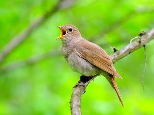 Mengetahui Sarang Burung Sikatan Londo/Nightingale Di Alam Bebas