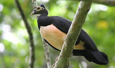 Mengetahui Lebih Dekat Burung Maleo Di Habitat Aslinya Di Alam Liar