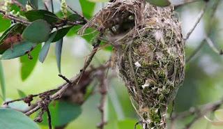 Sarang Burung Kemade Di Alam Liar