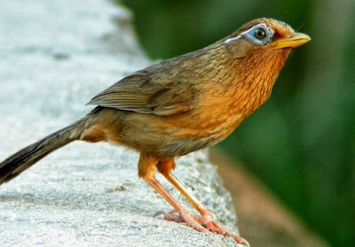 Kisaran Daftar Harga Burung Hwamei Terbaru Saat Ini 2018 Paling Lengkap
