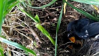 Sarang Burung Decu Di Habitat Aslinya