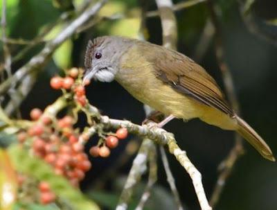 Mengetahui Tempat Sarang Burung Cucak Jenggot Di Habitat Aslinya Di Alam Liar