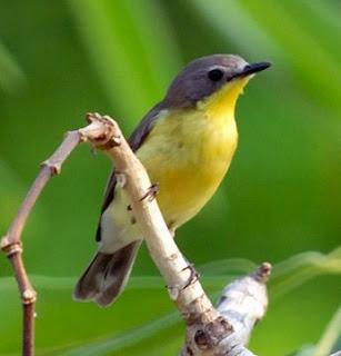 Tempat Sarang Burung Rametuk Laut Di Habitatnya Di Alam Liar