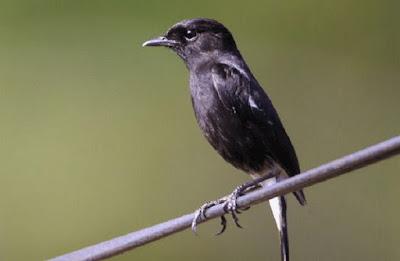 Mengenal Berbagai Jenis Burung Decu Yang Ada Di Habitatnya Di Alam Bebas Terlengkap