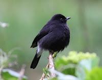 Jenis Burung Decu Saxicola Caprata Caprata