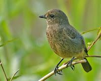 Jenis Burung Decu Saxicola Caprata Nilgiriensis