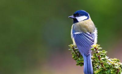 Habitat Dan Kumpulan Jenis Jenis Burung Gelatik Yang Ada Paling Lengkap