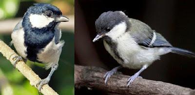 Proses Perawatan Burung Gelatik Batu Muda Hutan Agar Rajin Berkicau Paling Lengkap