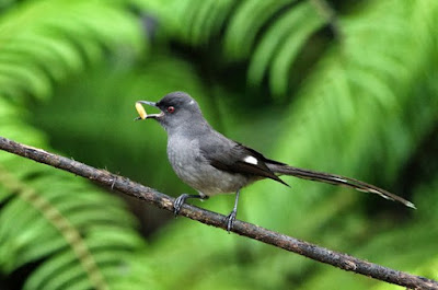 Mengenal Habitat Dan Ciri Ciri Fisik Burung Murai Batu Air Paling Lengkap