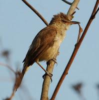 Jenis Burung Kerakbasi Besar