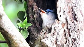 Sarang Burung Rambatan Di Alam Liar