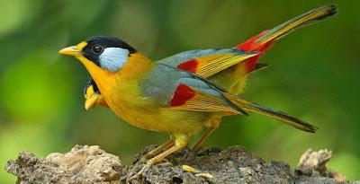 Mengenal Habitat Dan Ciri Ciri Fisik Burung Pancawarna Paling Lengkap