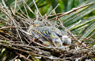 Sarang Burung Punai Di Alam Bebas