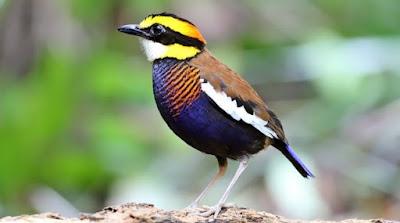 Mengetahui Tempat Sarang Burung Paok Di Habitatnya Di Alam Bebas