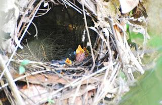 Sarang Burung Paok Di Alam Bebas