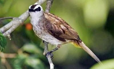 Mengetahui Tempat Sarang Burung Trucukan Di Habitat Aslinya Di Alam Liar