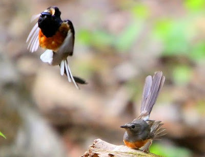 Mengetahui Dan Mengenal Deakt Sarang Burung Murai Batu Di Habitat Aslinya Di Alam Bebas