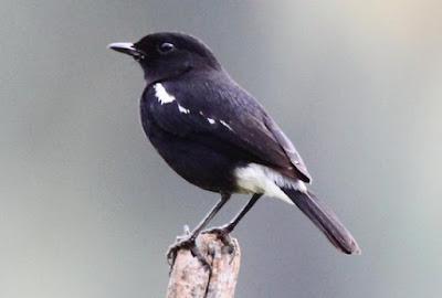Cara Menemukan Dan Mengetahui Tempat Sarang Burung Decu Di Habitat Aslinya