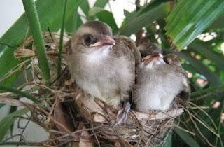 Sarang Burung Trucukan Di Alam Liar