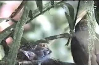 Sarang Burung Cucak Jenggot Di Alam Liar