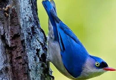 Mengetahui Habitat Asli Dan Tempat Sarang Burung Rambatan Di Alam Liar
