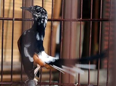 Mengetahui Penyebab Warna Bulu Blorok Burung Murai Batu Paling Lengkap
