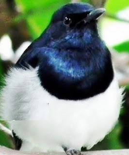 Cara Cepat Mengatasi Dan Merawat Burung Kacer Over Birahi Paling Lengkap