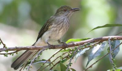 Proses Perawatan Burung Siri Siri Muda Hutan Agar Cepat Gacor Paling Lengkap
