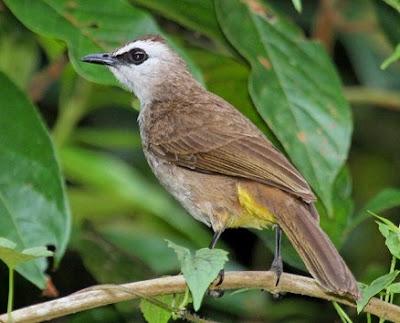 Cara Merawat Dan Menjinakan Burung Trucukan Muda Hutan Agar Cepat Berkicau