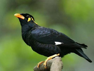 Mengetahui Tips Dan Cara Proses Penjinakan Burung Beo Muda Hutan Paling Lengkap