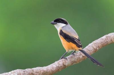 Tips Dan Cara Akurat Menjinakkan Burung Cendet Muda Hutan Agar Cepat Berkicau