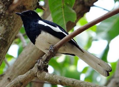 Mengenal Dekat Karakter Burung Kacer Dan Proses Perawatannya Paling Lengkap