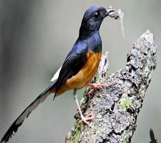 Proses Perawatan Burung Murai Batu Tanpa Voer Yang Baik Dan Benar Sudah Terbukti Hasilnya