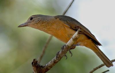 Mengenal Habitat Dan Ciri Ciri Fisik Burung Anis Betet Kecil Paling Lengkap