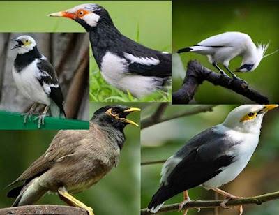 Kumpulan Jenis Jenis Burung Jalak Dan Penyebarannya Paling Lengkap