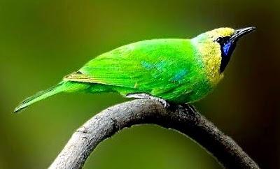 Mengenal Lebih Dekat Habitat Asli Burung Cucak Rante Di Alam Bebas