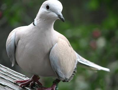 Cara Tepat Perawatan Burung Puter Agar Rajin Berkicau Dan Gacor Terlengkap
