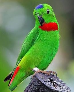 Tips Dan Cara Akurat Melatih Burung Serindit Makan Milet Putih Yang Sudah Terbukti