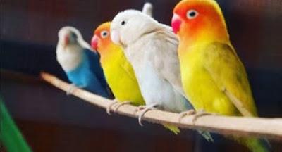Mengetahui Penyebab Lovebird Sering Turun Ke Dasar Sangkar Paling Lengkap