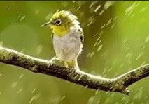 4 Manfaat Dan Khasiat Burung Di Hujankan Paling Lengkap