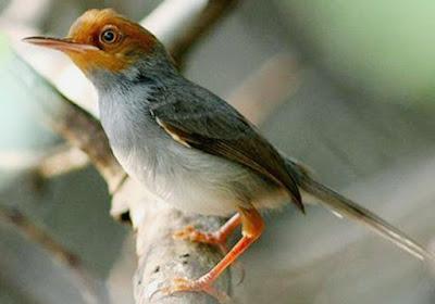 Tips Dan Cara Merawat Burung Prenjak Agar Cepat Gacor Terlengkap