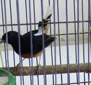 Tips Dan Cara Yang Tepat Merawat Burung Murai Batu Dorong Ekor Agar Bisa Cepat Tuntas