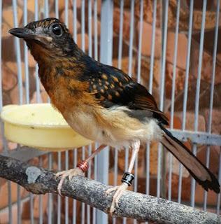 Proses Perawatan Burung Murai Batu Trotol Yang Tepat Agar Cepat Gacor Paling Akurat