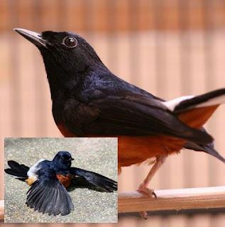 4 Jenis Penyakit Yang Sering Menyerang Burung Murai Batu Dan Tips Mengobatinya Paling Lengkap